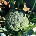 broccoli-992710_640